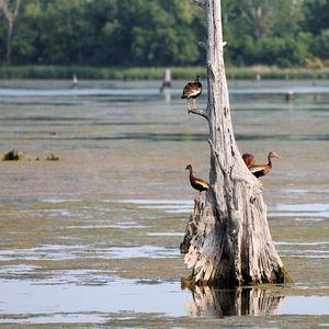 Coastal_Black belly whistling duck