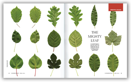 Mighty-leaf-spread