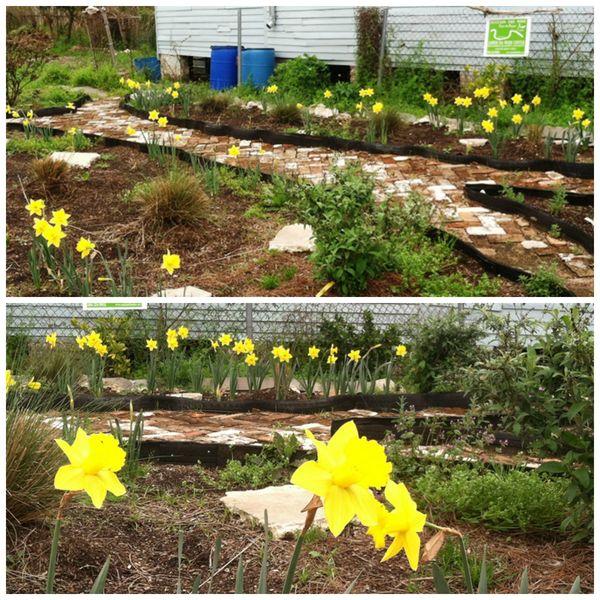 Dauphine Daffodil Collage