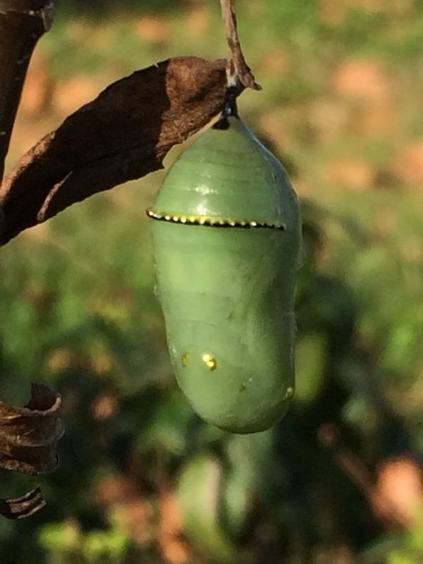 Chrysalis Butterfly Island Florida Ave