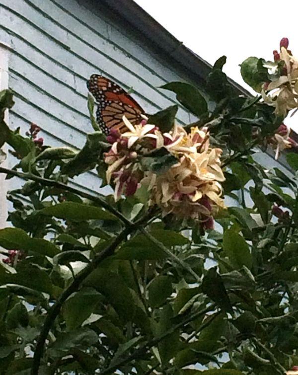 Butterfly Feeding Lemon Tree Dauphine 1