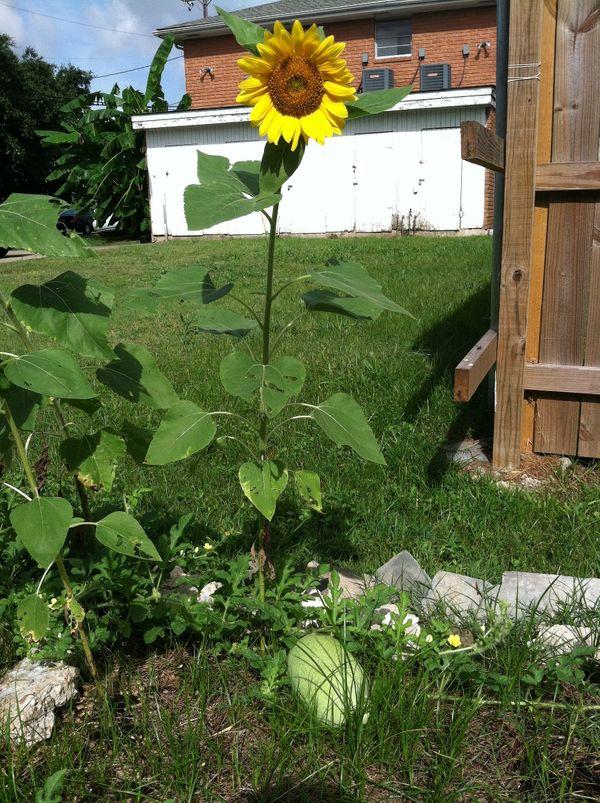 Dauphine Garden Sunflower Watermelon