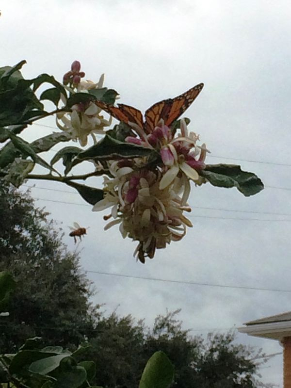 Butterfly Honeybee In Flight Lemon Tree Dauphine