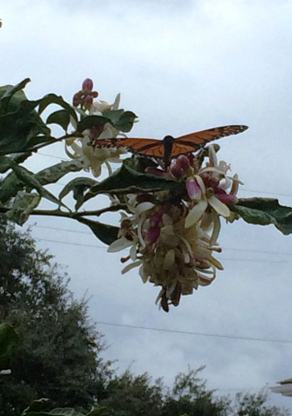 Butterfly Honeybee Lemon Tree Dauphine